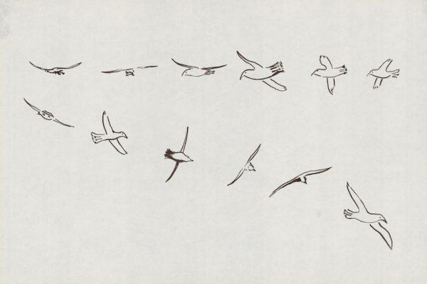 Icelandic birds